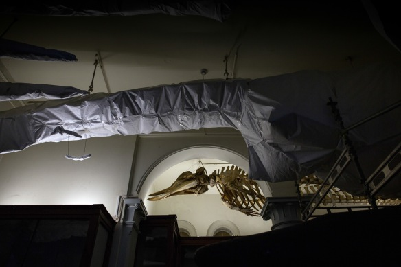 Exhibition: none #10. Whale skeletons, too big to move, are covered in paper and tarp
